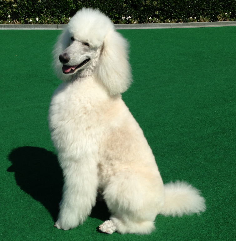 london-the-actual-star-of-london-returns-to-california-an-upcoming-super-poodleterrific-edition